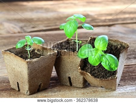 Young Basil Seedlings In Pots. Small Basil  In Biodegradable Pot, Brown Wooden Table.