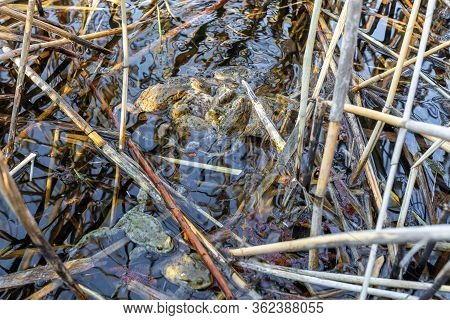 Mating Group Common Toad Or European-toad, Bufo Bufo In Natural Environment On Spring Pond, Czech Re