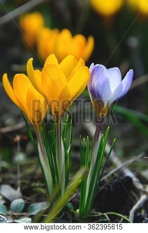Flowering Crocuses With Purple And Yellow Petals (spring Crocus). Crocuses Are The First Spring Flow