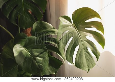 Exotic Tropical Monstera Palm Leaves, Copy Space. Green Leaves Of Monstera Palm Or Split-leaf Philod