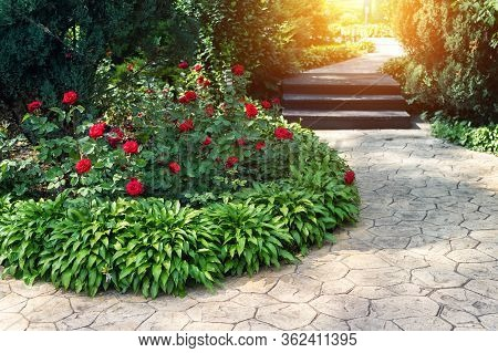 Beautiful Flowerbed With Blossoming Red Roses Bushes And Hosta Flowers And Juniper Green Coniferous