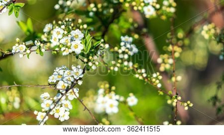 Flowering Of Fruit-bearing Trees In Spring. White Apple Or Cherry Blossoms On A Blue Sky. Floral Bac