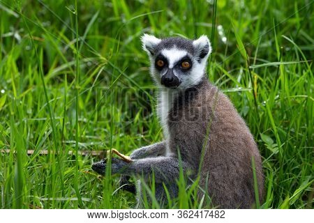 The Ring-tailed Lemur In The Rainforest, Its Natural Environment