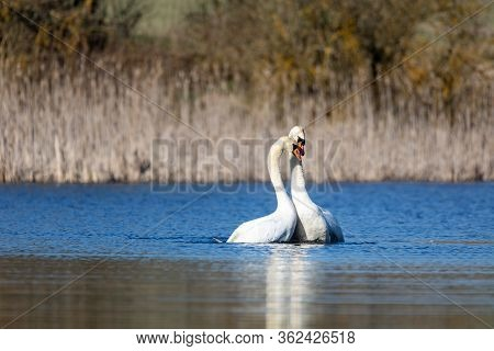 Wild Bird Mute Swan (cygnus Olor) Making Love, Dance On Water In Spring Pond With Blue Sky Reflectio