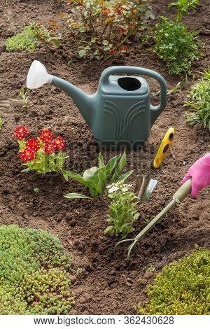 Gardener Is Planting White Verbena Flowers Using A Rake In A Garden Bed. Flower Bed Organization.
