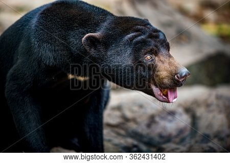 Sun Bear Helarctos Malayanus Profile Close-up, Asia