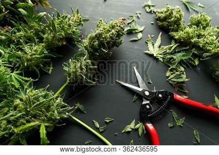 Growers Trim Cannabis Buds. Harvest Weed Time Has Come. Growers Trim Their Pot Buds Before Drying.