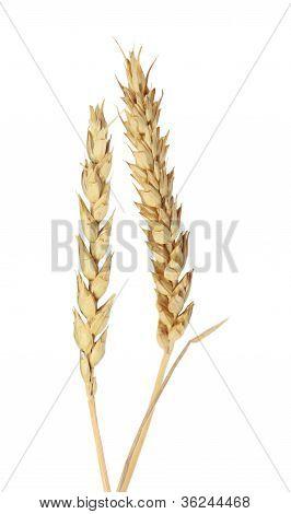 Beardless Wheat