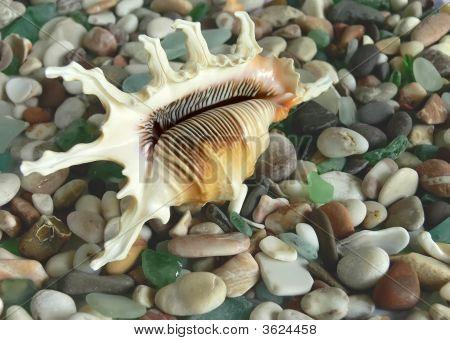 Sea Shell On Pebble