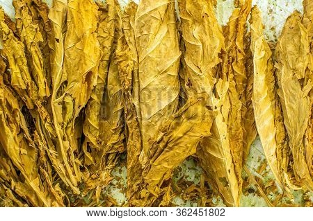 Tobacco Leaf During Curing Process. Drying Of Tobacco Fermentation