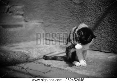 Cat Washes Itself With Paws In A Sunny Rural Yard, Cats Keep Clean, Bw Photo.