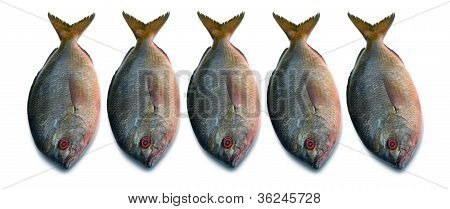 Yellowtail fusilier fish