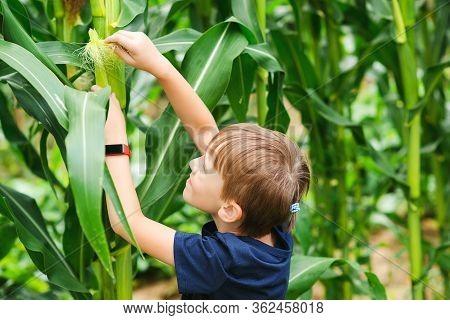 Kid Farmer Looking At Sweetcorn In A Field. Boy Farmer Check The Quality Of Corn In Cornfield. Littl