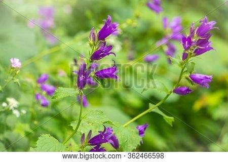 Campanula Persicifolia, The Peach-leaved Bellflower, Is A Flowering Plant Species In The Family Camp