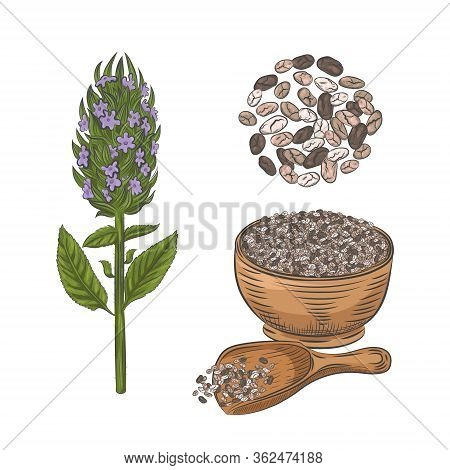 Chia Plant And Seeds Hand Drawn Sketch.  Blooming Chia Plant Isolated On White Background. Chia Seed