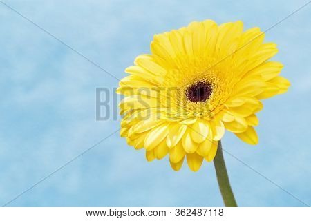 Natural Flowery Background With Beautiful Yellow Gerbera Flower Close Up. Gentle Petals On Blue Back