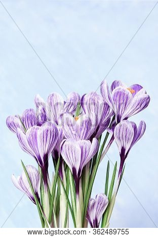 Bouquet Of Crocus Flowers. First Spring Flower With Copy Space For Wishes Or Your Design. Natural Fl