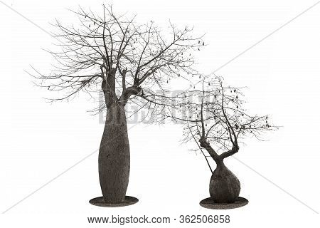 Two Large Baobabs In The Shape Of A Bottle And Dry Spreading Branches, Close-up On A White Backgroun