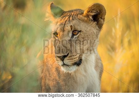 This Golden Close Up Portrait Of A Female Lioness Was Photographed At Sunrise In The Etosha National