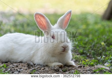 White Rabbit Outdoors.close Up Bunny Rabbit In Agriculture Farm.rabbits Are Small Mammals In The Fam