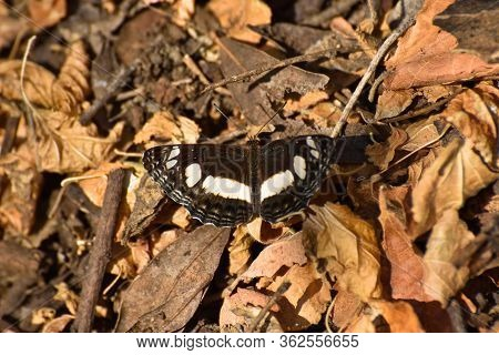 Spotted Sailer Butterfly On Autumn Leaves (neptis Saclava Marpessa), Rustenburg, South Africa