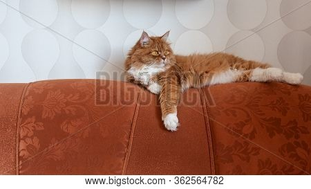 Red Maine Coon Cat Lies On The Sofa. Ginger Kitty Is Lying On The Orange Couch. Fat Fluffy Cat With
