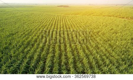 Sugar Cane Farm. Sugar Cane Fields View From The Sky. Drone Photo Of Cane Sugar. Sugarcane Field In