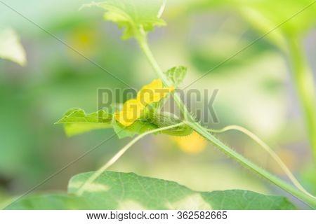 Pistil Of Melon Tree In Green House