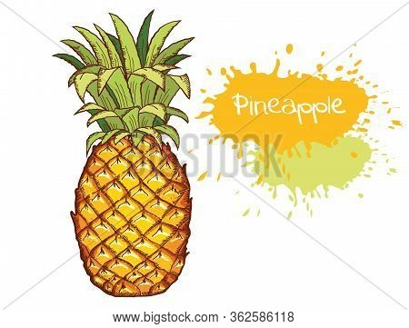 Pineapple. Vector Hand Drawn Fruit Illustration Isolated On White