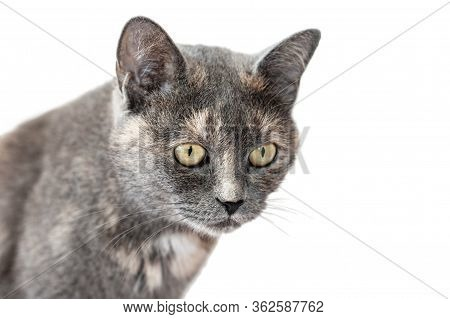 Grey Tricolor Female Cat With Attentive Gaze Isolated On White Background. Cat Portrait