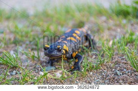 European Fire Salamander (salamandra Salamandra), A Black Yellow Spotted Amphibian In Its Natural Ha