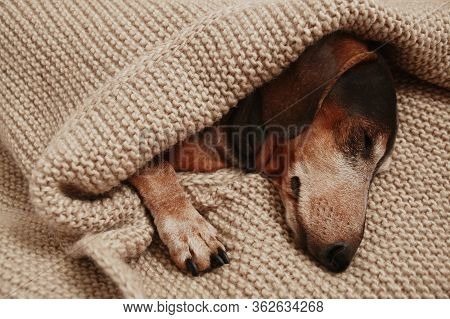 The Dachshund Dog Sleeps Under A Knitted Blanket
