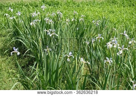 Florescence Of Light Violet Irises In Late Spring