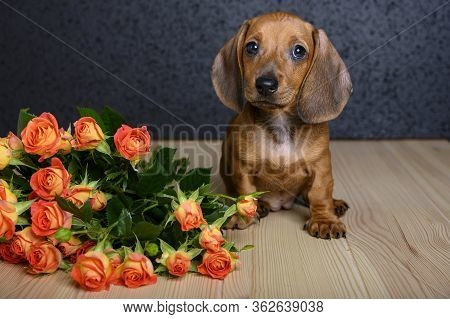 A Small Beautiful Young Dog Of Dachshund Breed Sits On A Wooden Textured Table And Looks Up And Next