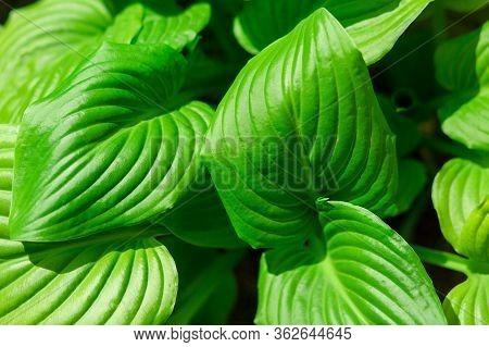 Hosta Plant Garden. Hosta Vetricosa. Amanuma. Plant Close-up