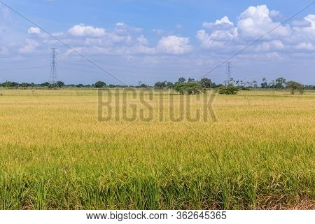 Paddy Jasmine Rice Field With Blue Sky. Young Ear Of Rice In Green Paddy Field. Fresh Terraced Rice