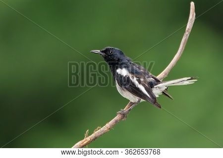 An Oriental Magpie-robin (copsychus Saularis), Resting On A Perch. A Small Passerine Bird Present In