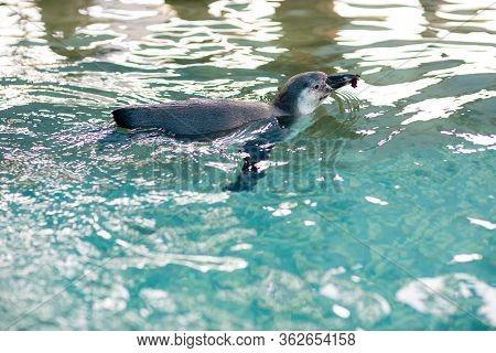 Baby Penguin Swimming In The Pool. Little Penguins. Little Blue Penguin At Penguin Island .
