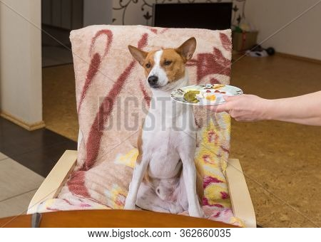 Basenji Dog Shows Indifference To Master Trying To Feed The Pet With Human Food While Sitting At The