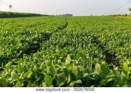 Green Ripening Soybean Field, Agricultural Landscape. Beautiful Green Soy Fields Growing In Rows, Ag