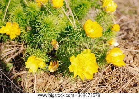 Wild Yellow Adonis Flower On Rocky Terrain Close-up. Spring.