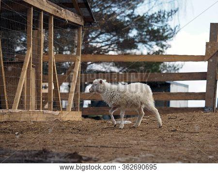A Small Lamb Walks On A Farm Paddock