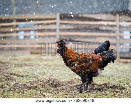 Beautiful Hen Walks In The Paddock Of A Farm