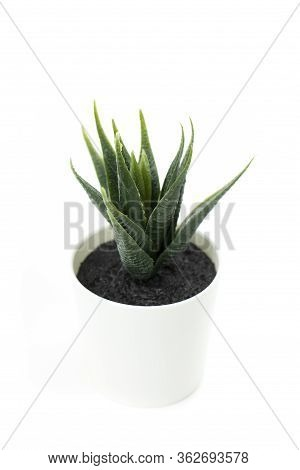Dyckia Succulent Plant In White Pot Isolated On White Background Aloe Cosmetics , Succulents, Cacti