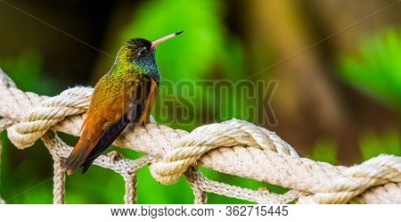 Portrait Of An Amazilia Humming Bird In Closeup, Popular And Small Tropical Bird Specie From America