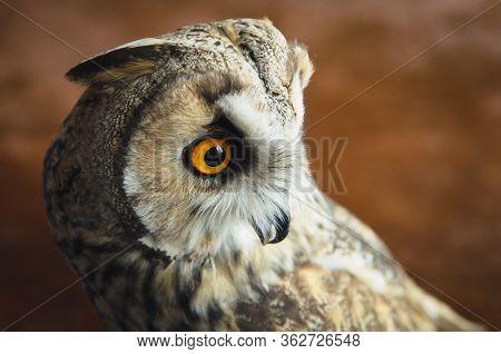 Close Up Portrait Of Eurasian European Eagle-owl, Bubo Bubo Great Horned Owl Virginianus, On Blured