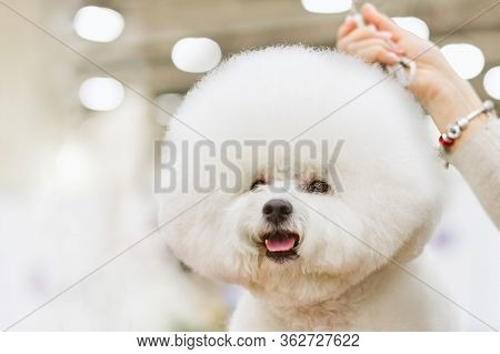 Dog Bichon Frise With A White Coat On A Background Dogshow.