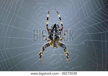 Spider in web front view