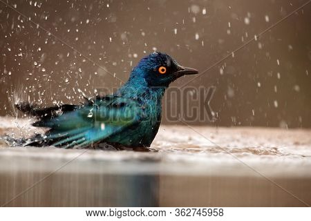 The Cape Starling, Red-shouldered Glossy-starling Or Cape Glossy Starling (lamprotornis Nitens) Bath