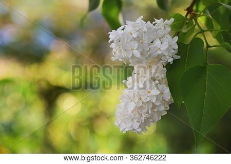 Branch Of A White Blossoming Lilac In Spring